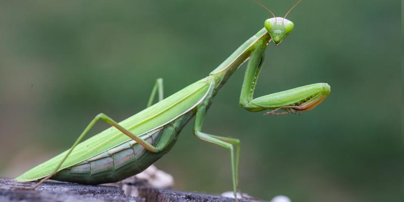 Mantis as Pets